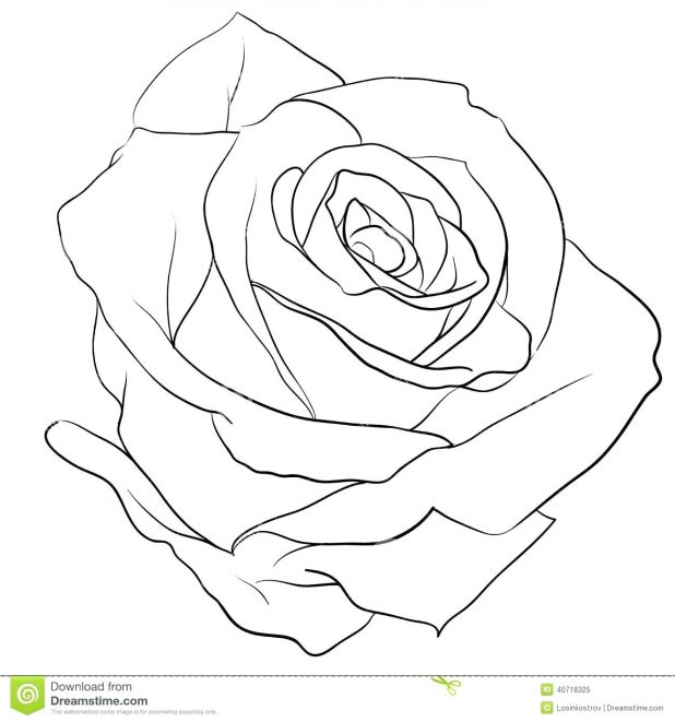 618x661 Realistic Rose Drawing Outline 42 Marvellous Tutorial Rose Drawing