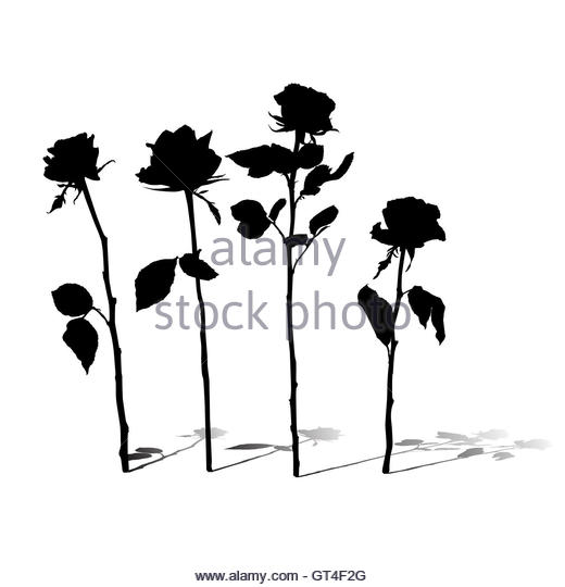 520x540 Rose Silhouette Stock Photos amp Rose Silhouette Stock Images