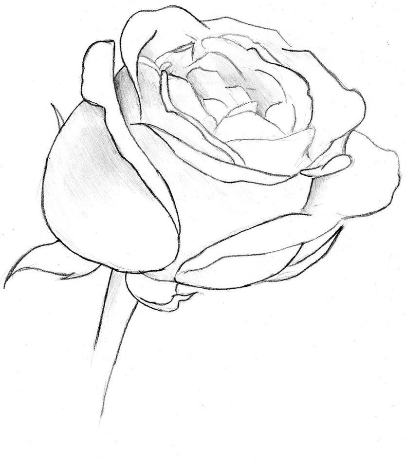 834x957 Rose Sketch By Goku Kaji