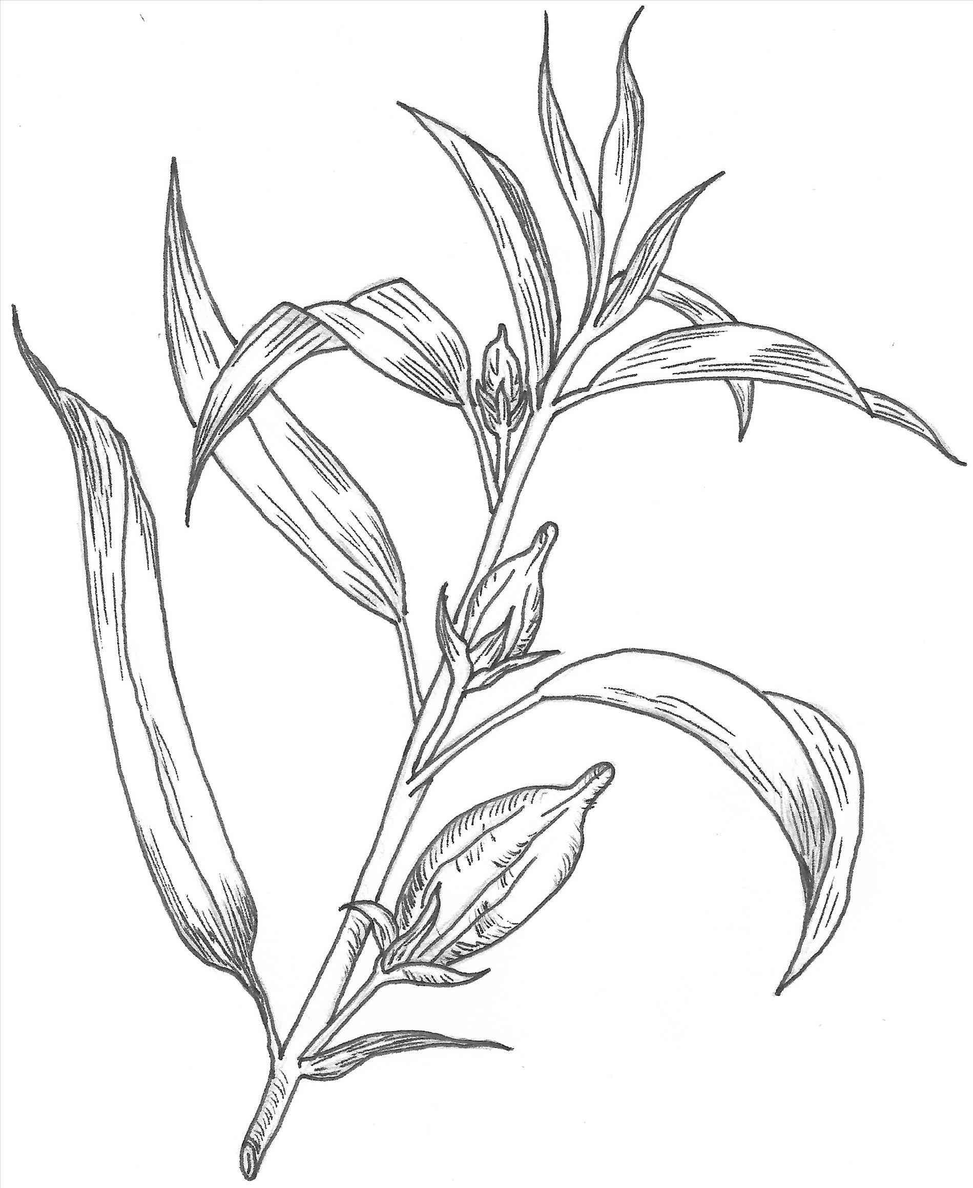 1899x2318 Simple Rose Bush Drawing