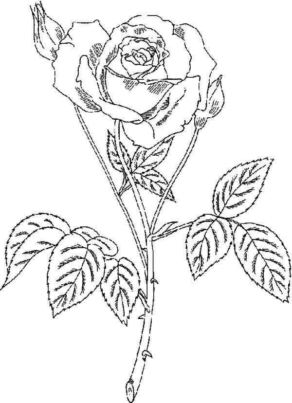 600x828 Rose With Thorn Coloring Page
