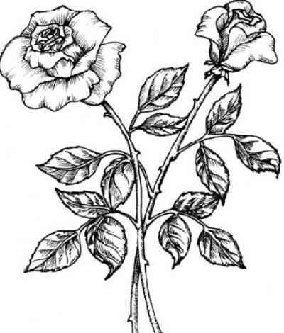 400x470 Drawn Rose Bush Flower Clipart