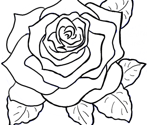 500x425 How To Draw The Rose How To Draw Roses Opening In Full Bloom Step