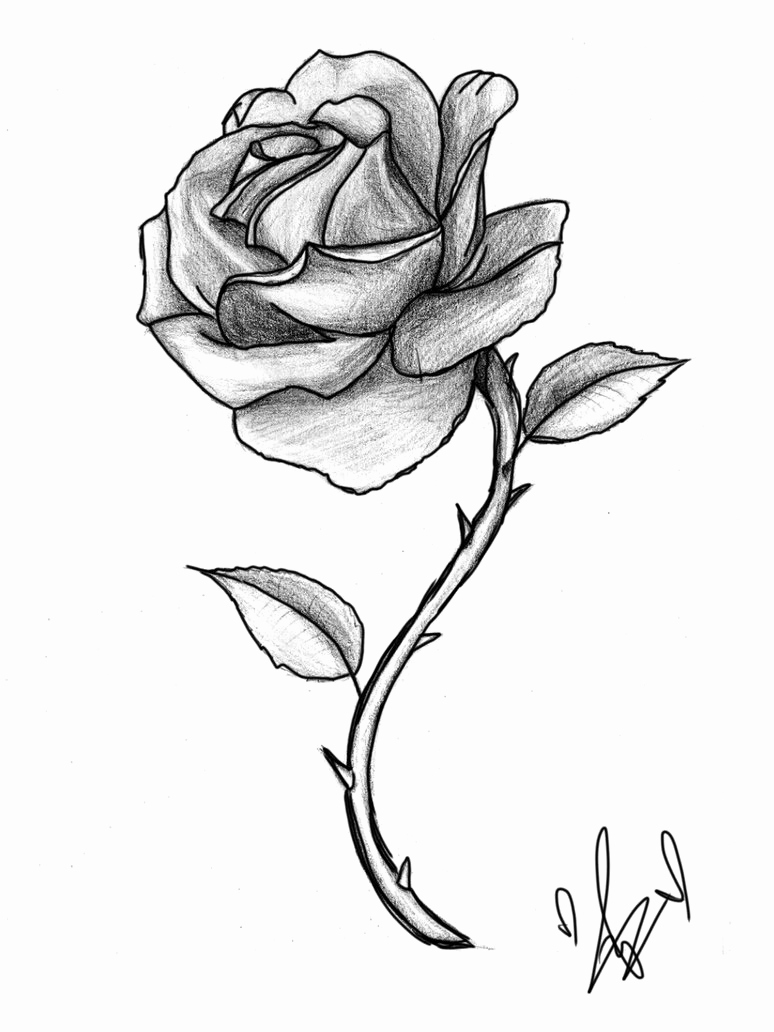 774x1032 Rose Sketches Beautiful Rose Sketches Pencil Pencil Sketch Rose