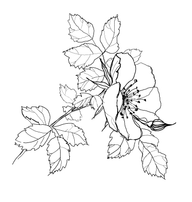 380x400 Pics For Gt Art Pencil Drawings Of Flowers Flowers