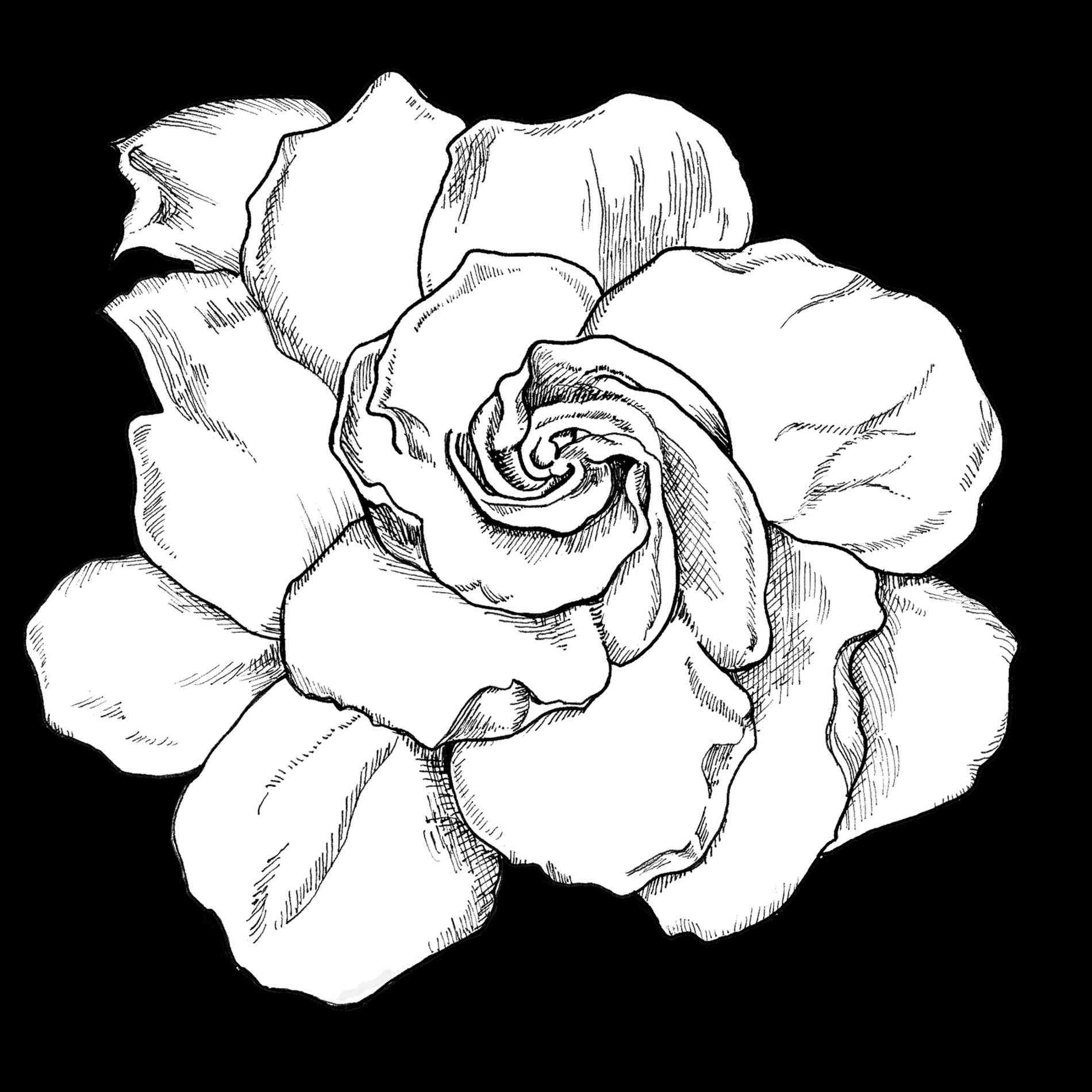 1900x1900 Easy Rose Drawings In Black And White Freespywarefixescom