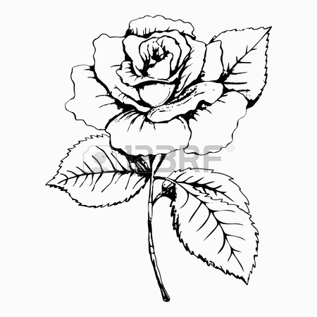 450x450 Flower Rose, Sketch, Painting. Hand Drawing. White Bud, Petals