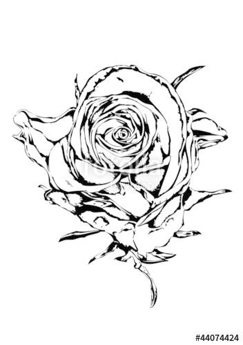 352x500 Rose Flower Drawing Art Illustration Black Stock Photo