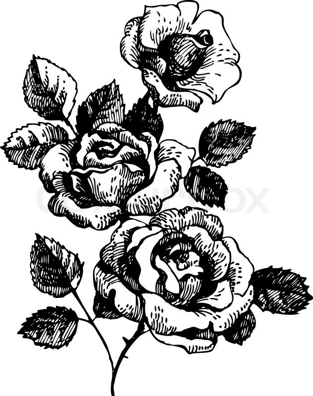 632x800 Roses Hand Drawn Illustration Of Bouquet Of Rose Flowers Stock