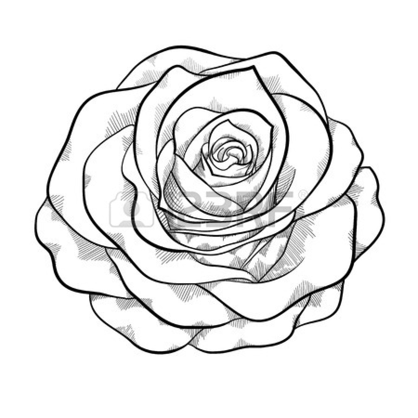 1350x1350 Black And White Sketches Of Rose Trending Rose Drawing Tattoo