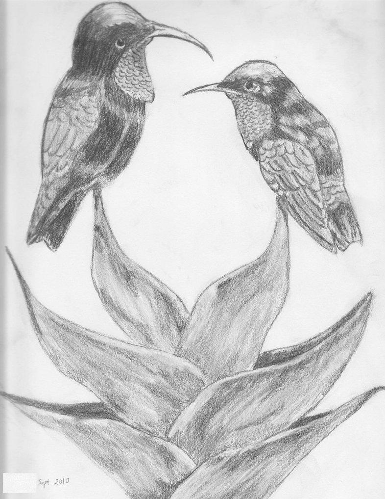 786x1017 Hummingbird Sketch By Ivi01