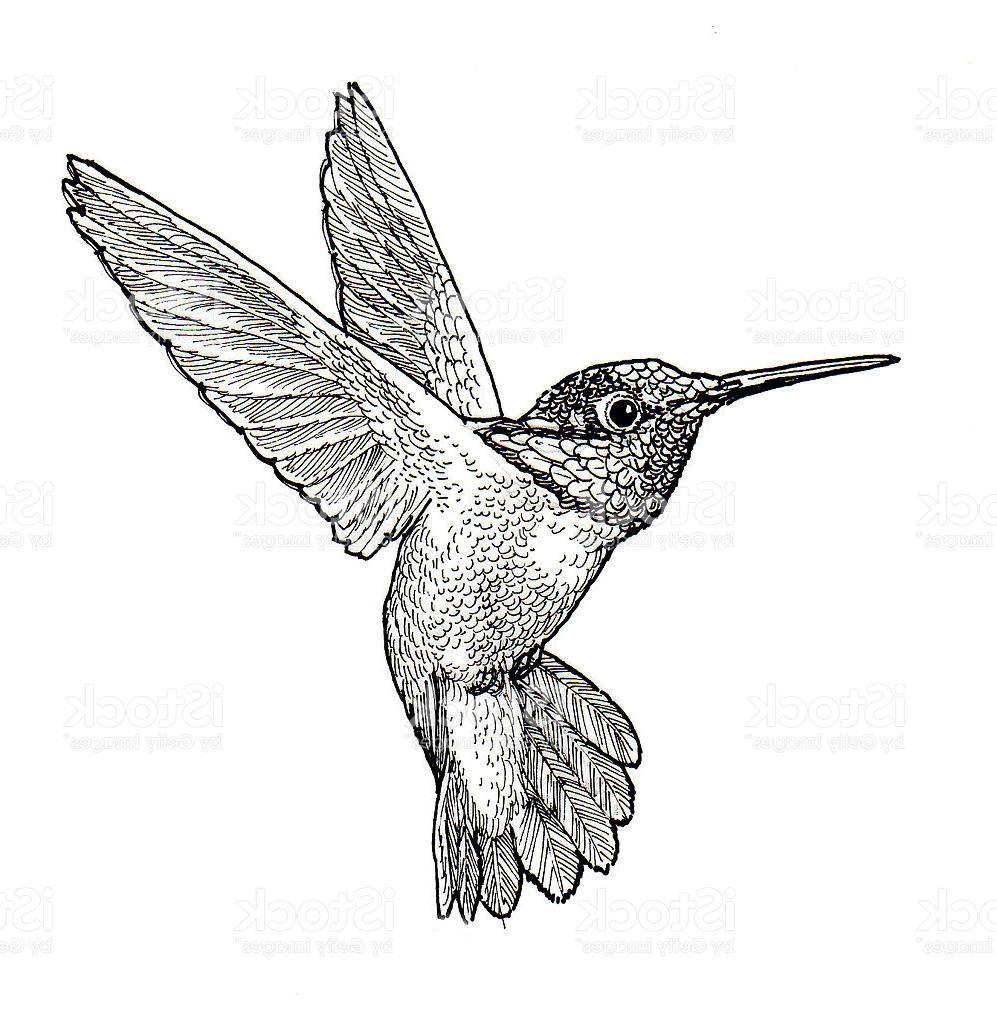 997x1024 Best Hummingbird Illustration Drawing