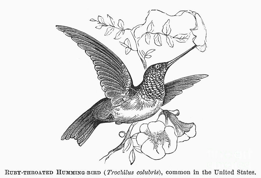 900x615 Ruby Throated Hummingbird Photograph By Granger