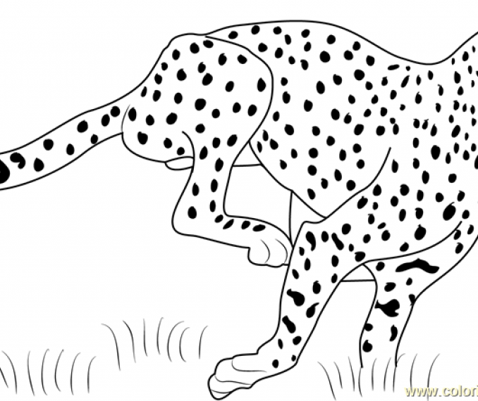 678x570 Cheetah Pictures To Color Coloring Page