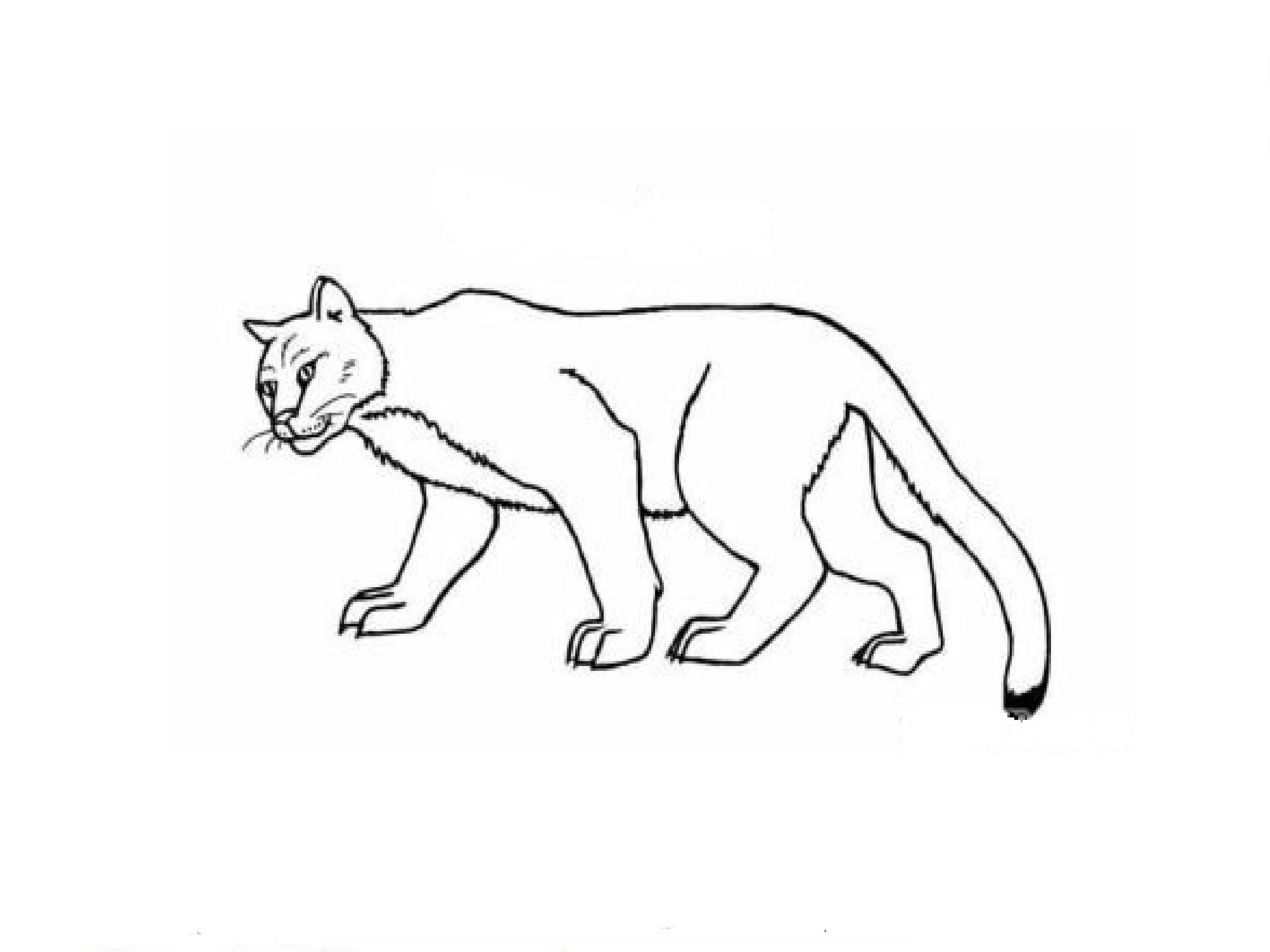 2592x1944 How To Draw A Puma