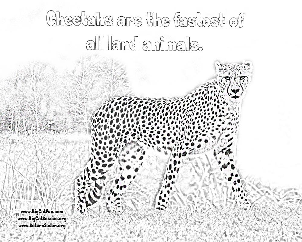 1000x800 Online Cheetah Coloring Pages Lexilu Cheetahs