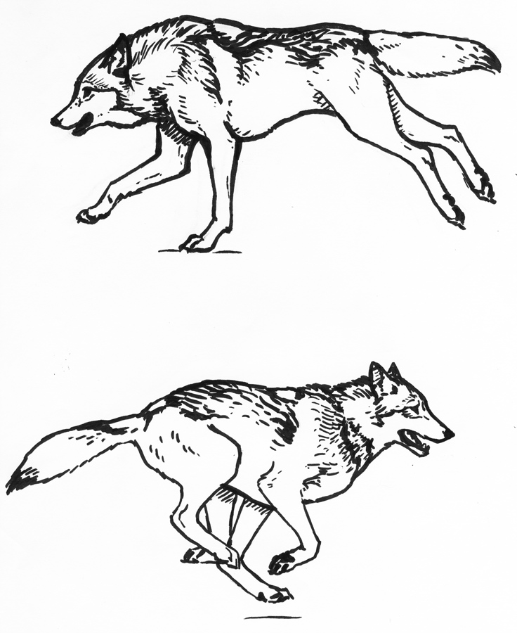 736x900 Wolf Running Sketches By