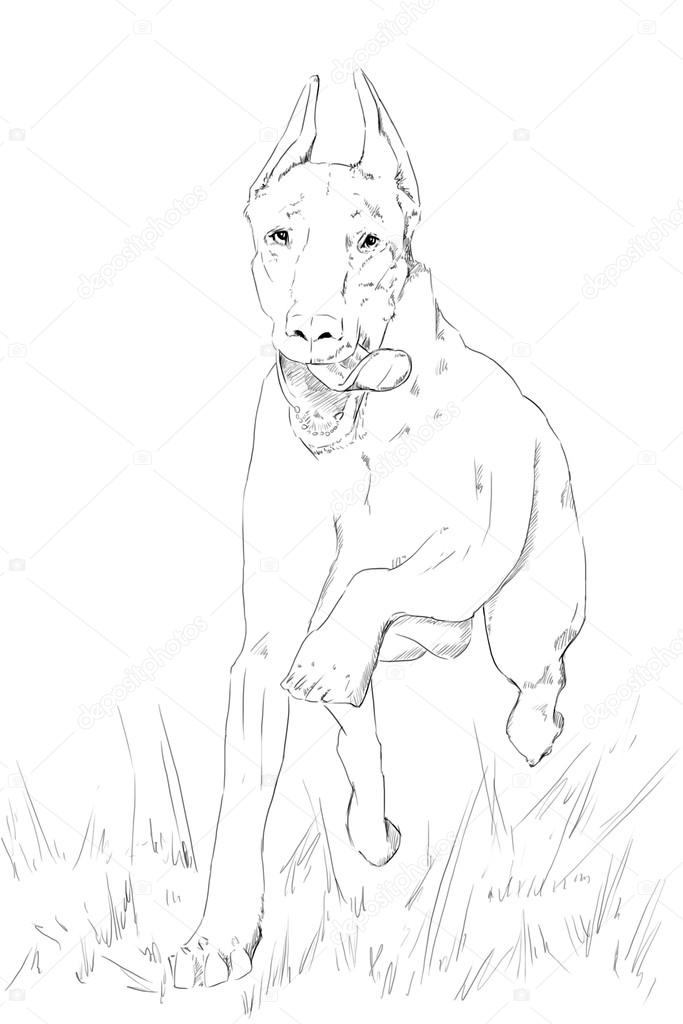 The Best Free Doberman Drawing Images  Download From 139