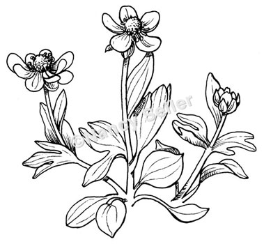 379x350 Sagebrush Buttercup, Ranunculus Glaberrimus Nancy Seiler
