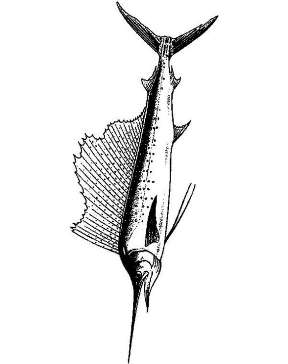 594x750 Kids N 9 Coloring Pages Of Swordfish