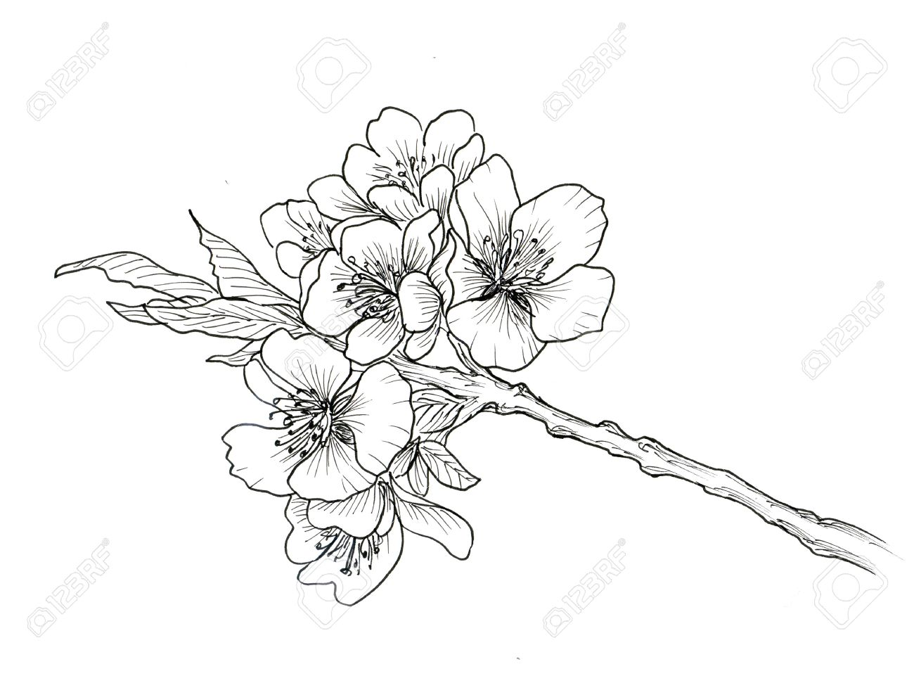 1300x981 4,954 Plum Blossom Stock Illustrations, Cliparts And Royalty Free