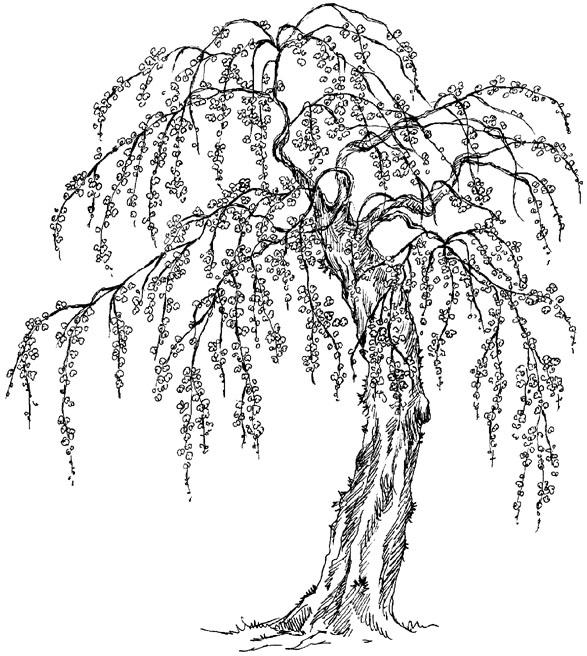 587x656 Japanese Cherry Blossom Tree By Coilheart Japanese Cherry Blossom