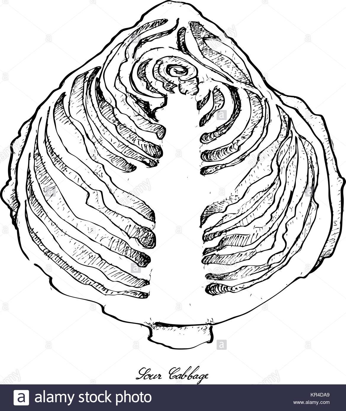 1169x1390 Botanical Drawing Cabbage Stock Photos Amp Botanical Drawing Cabbage