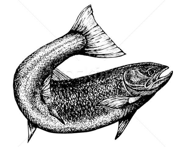 600x483 Highly Detailed Sketch Of A Salmon Vector Illustration Liviu