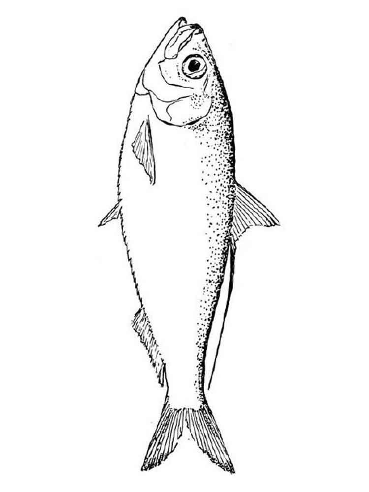 Salmon Fish Drawing at GetDrawings.com | Free for personal use ...