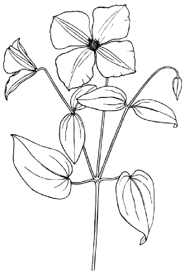 Sampaguita Drawing At Getdrawings Com Free For Personal Use