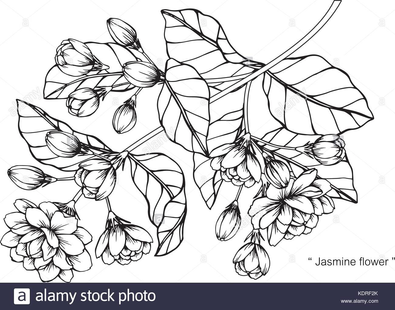 Sampaguita Flower Drawing At Getdrawings Free For Personal Use
