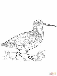 236x314 Sandpiper (Spotted) Coloring Page Homeschooling Sciencenature