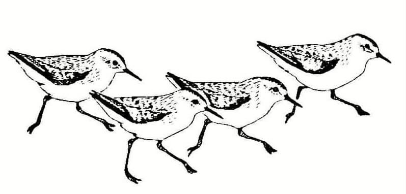 797x382 Shorebirds On Nantucket Beginning Their Fall Migration Nantucket