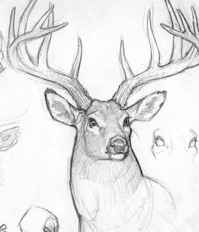 396x463 Pencil Drawings Of Deer Heads Tags Drawings Of Deer Heads How
