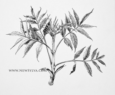 400x332 Ash Shoot By Sarah Simblet For The New Sylva Botanical Art