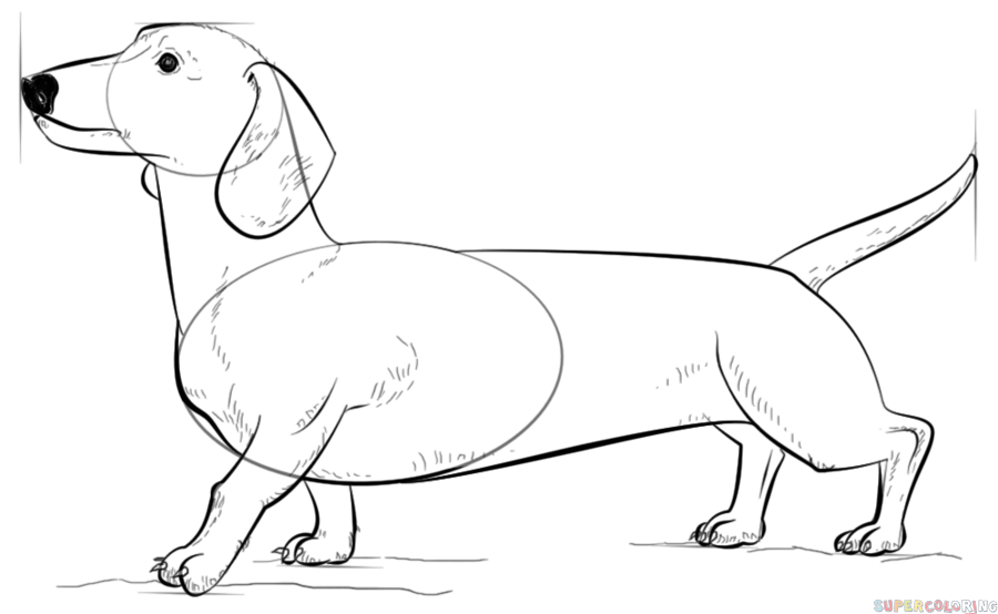 900x554 How To Draw A Dachshund Step By Step Drawing Tutorials