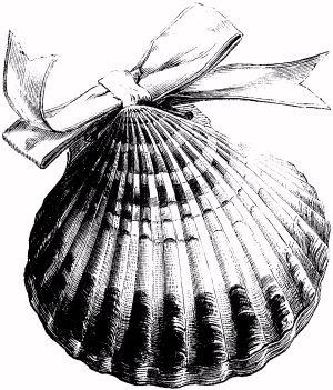 300x351 Scallop Shell Drawing