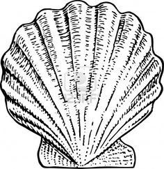 236x242 Scallop Shell Drawing Is A Common Scallop Shell I Art