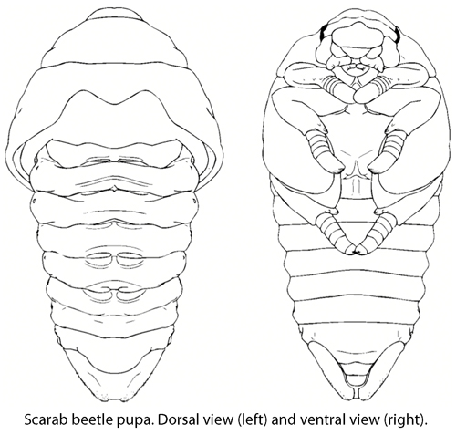 Scarab Beetle Drawing at GetDrawings.com | Free for personal use ...