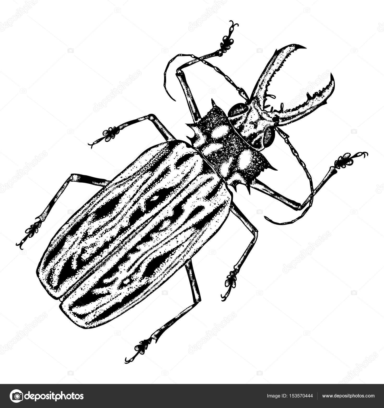 1600x1700 Scarab Beetle Sketch Stock Vector Goldenshrimp