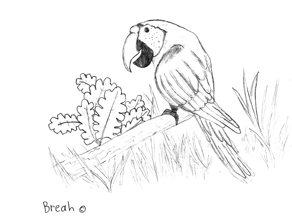 Scarlet Macaw Drawing