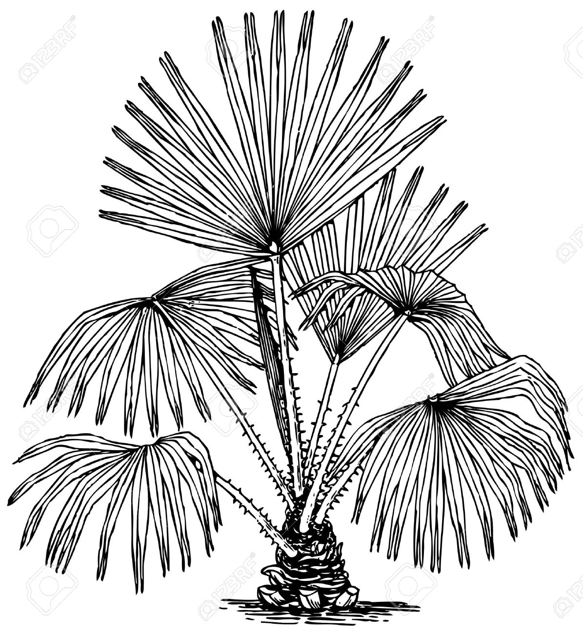 1195x1300 Sabal Palm Drawing