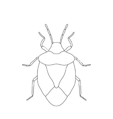 380x400 Shield Bug Palomena Prasina Sketch Of Shield Bug Vector Drawing