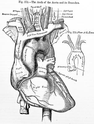 303x399 Antique Medical Illustrations , Human Aorta Science