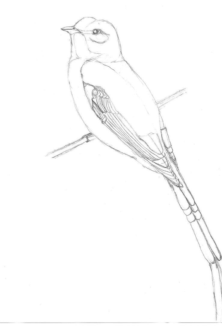 739x1081 A Scissor Tailed Flycatcher By Spirit Of Hajari