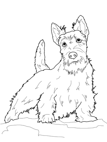 360x480 Scottish Terrier Coloring Page Free Printable Coloring Pages