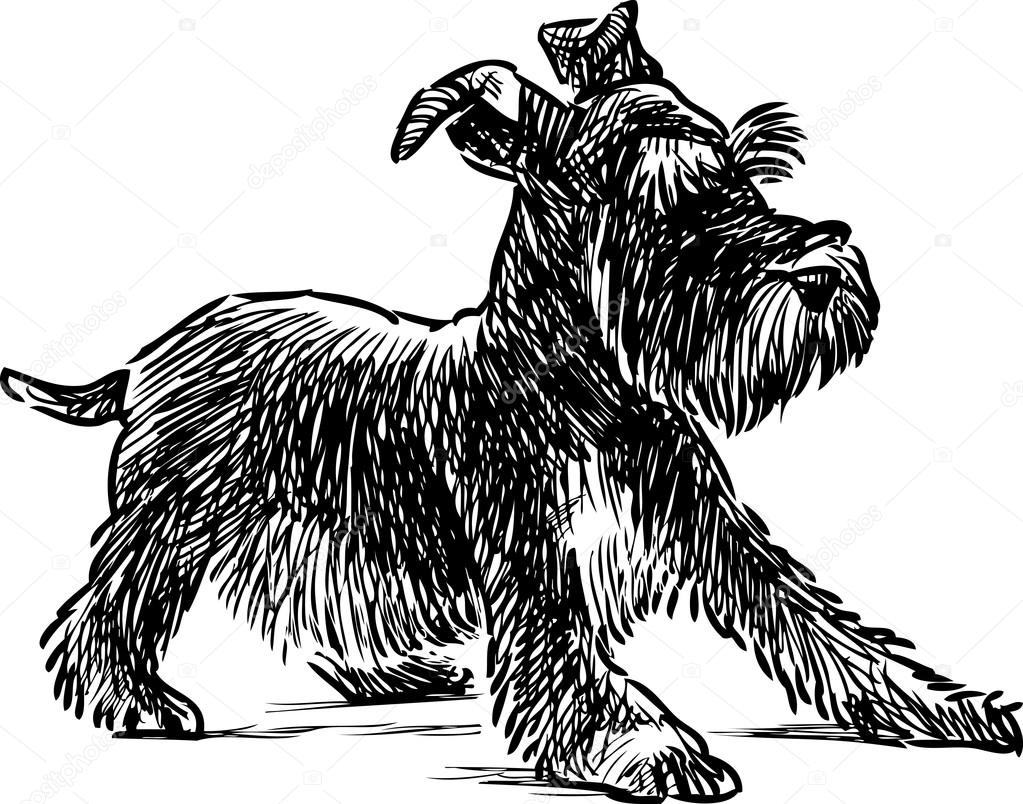 1023x804 Puppy Of Schnauzer Stock Vector Alekseimakarov