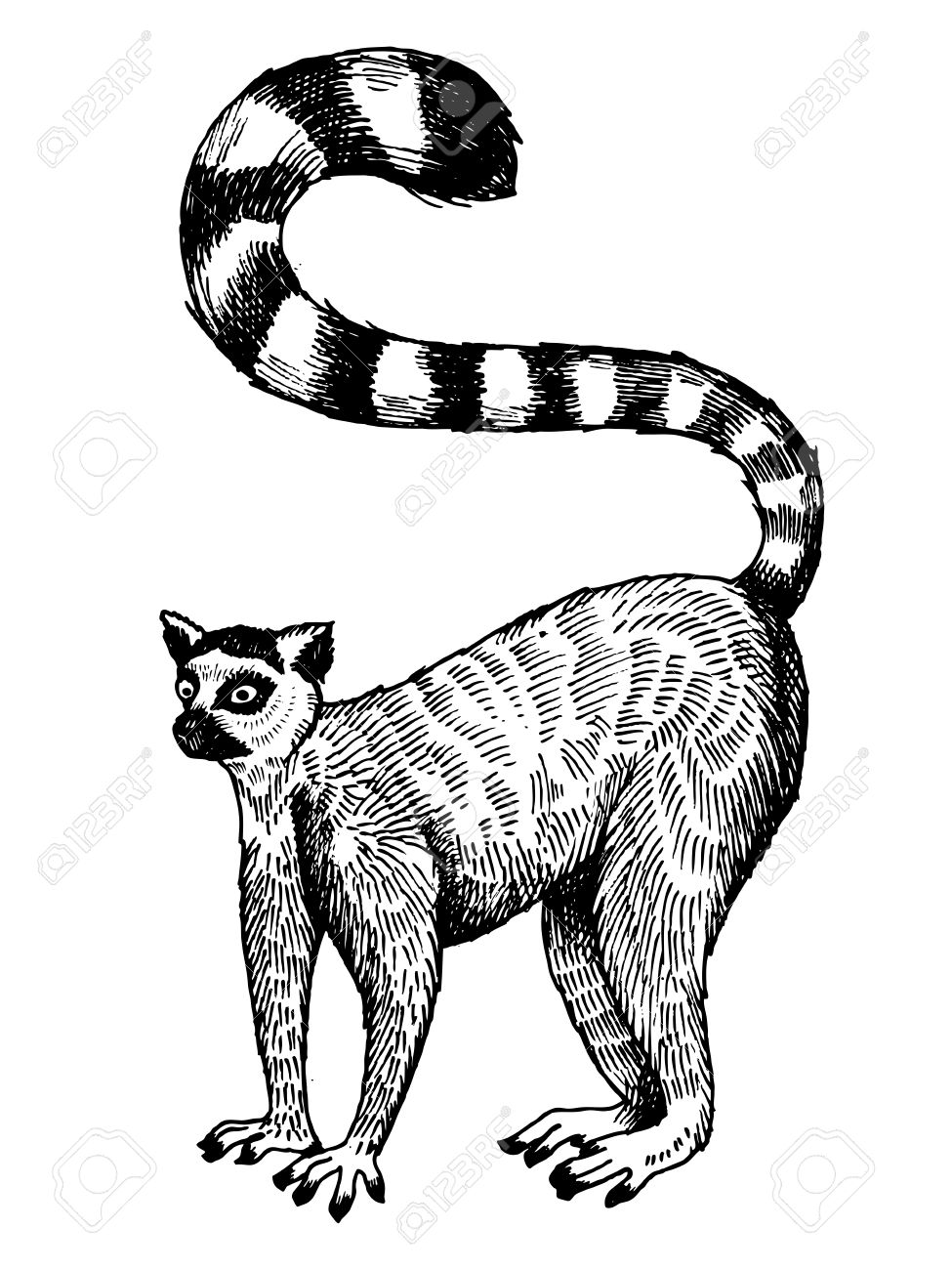 975x1300 Ring Tailed Lemur Engraving Vector Illustration. Scratch Board