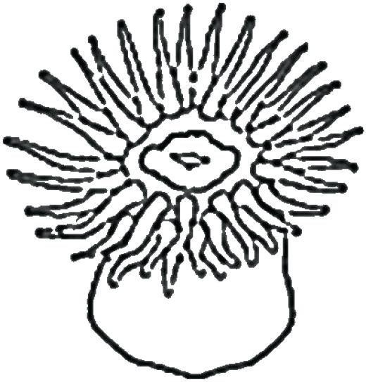 Anemone Flower Line Drawing : Sea anemone drawing at getdrawings free for personal