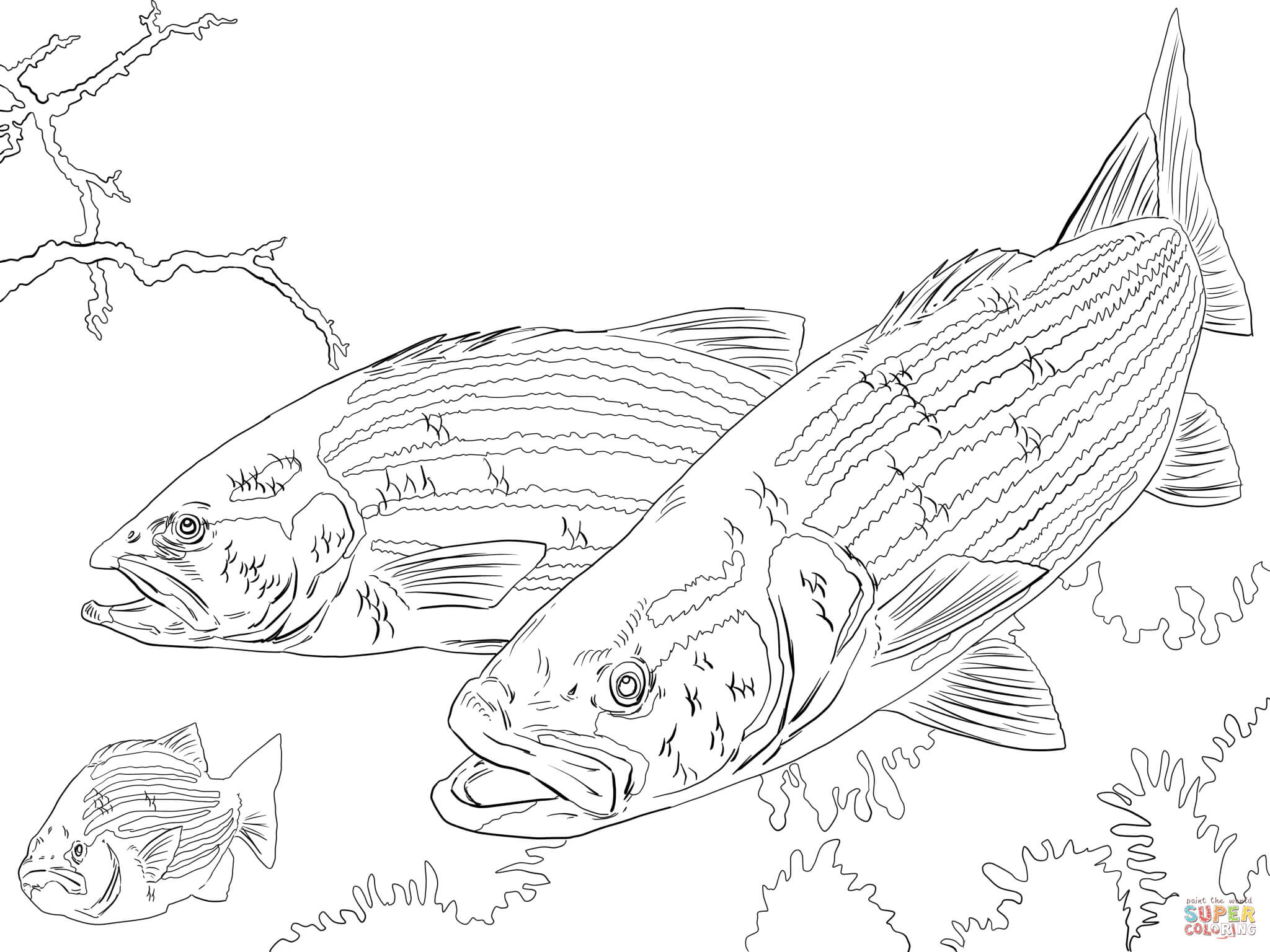 2048x1536 Striped Bass Coloring Page Free Printable Coloring Pages